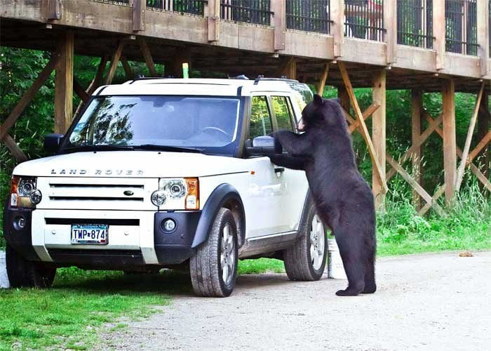 bear checking out a Land Rover