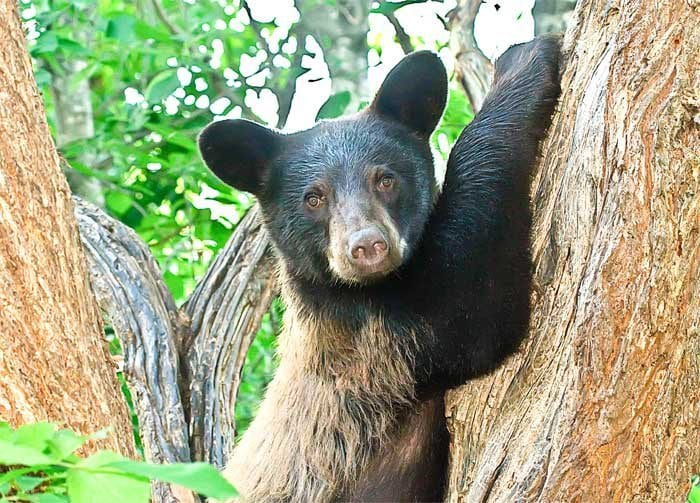 bear posing on a tree